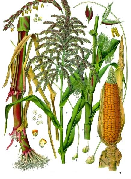 Кукуруза. A — нижняя часть